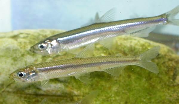 Рыбы-озер-Названия-описания-и-особенности-рыб-обитающих-в-озерах-8