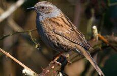 Завирушка птица. Образ жизни и среда обитания завирушки