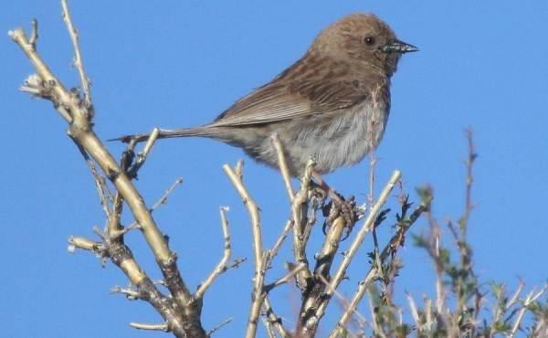 Завирушка-птица-Образ-жизни-и-среда-обитания-завирушки-10