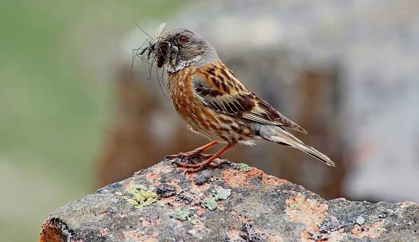 Завирушка-птица-Образ-жизни-и-среда-обитания-завирушки-12