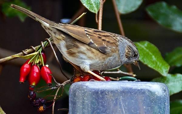 Завирушка-птица-Образ-жизни-и-среда-обитания-завирушки-2
