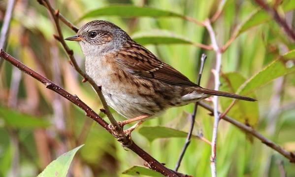 Завирушка-птица-Образ-жизни-и-среда-обитания-завирушки-3