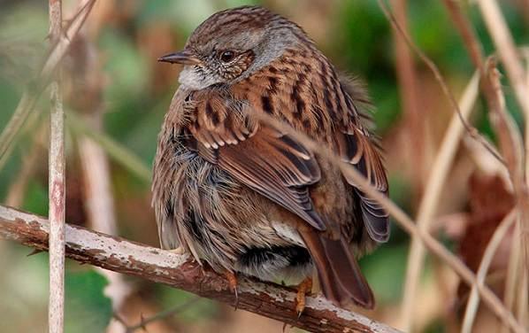 Завирушка-птица-Образ-жизни-и-среда-обитания-завирушки-4