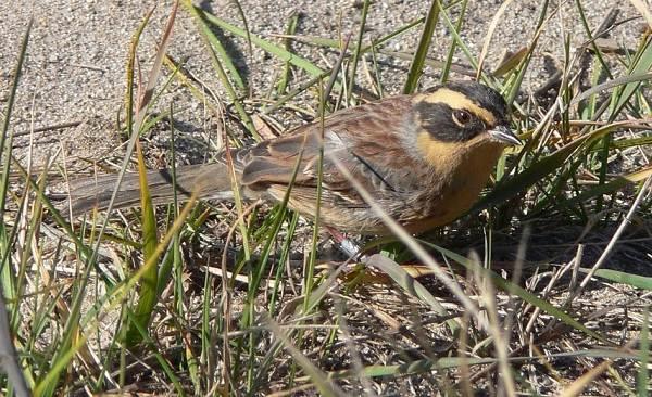 Завирушка-птица-Образ-жизни-и-среда-обитания-завирушки-5