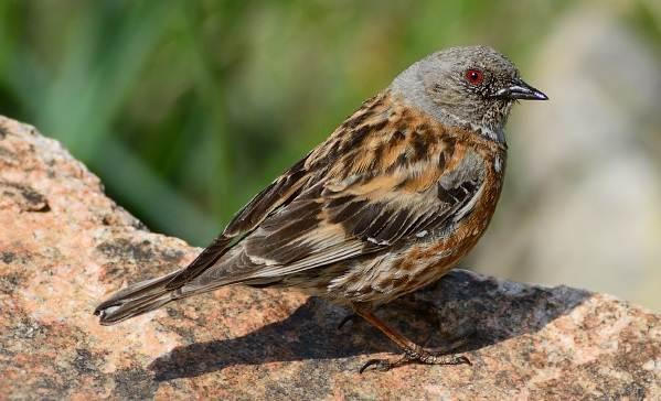Завирушка-птица-Образ-жизни-и-среда-обитания-завирушки-8