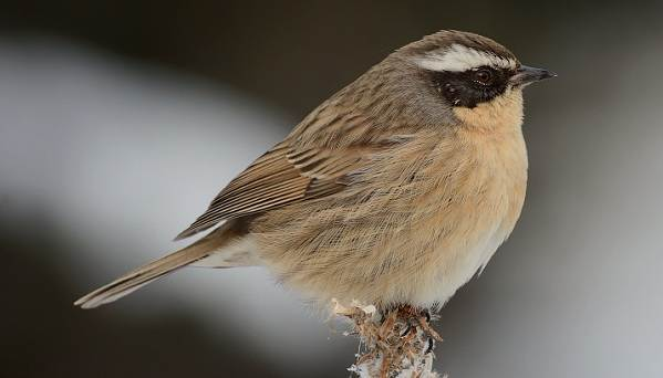 Завирушка-птица-Образ-жизни-и-среда-обитания-завирушки-9