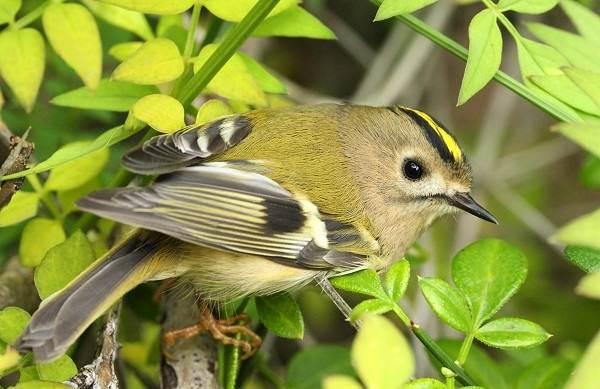 Желтоголовый-королек-птица-Образ-жизни-и-среда-обитания-желтоголового-королька-1