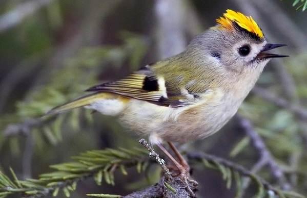 Желтоголовый-королек-птица-Образ-жизни-и-среда-обитания-желтоголового-королька-2