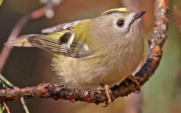 Желтоголовый-королек-птица-Образ-жизни-и-среда-обитания-желтоголового-королька-3