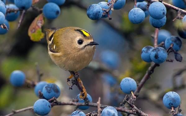Желтоголовый-королек-птица-Образ-жизни-и-среда-обитания-желтоголового-королька-5
