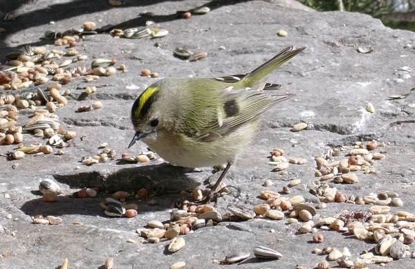Желтоголовый-королек-птица-Образ-жизни-и-среда-обитания-желтоголового-королька-6