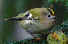 Желтоголовый королек птица. Образ жизни и среда обитания желтоголового королька