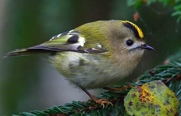 Желтоголовый-королек-птица-Образ-жизни-и-среда-обитания-желтоголового-королька-7
