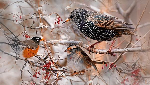 Куда улетают вороны на зиму из сибири