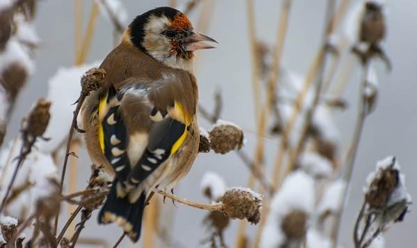 Зимующие-птицы-Названия-описания-и-особенности-зимующих-птиц-11