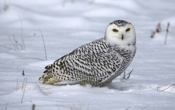 Зимующие-птицы-Названия-описания-и-особенности-зимующих-птиц-12