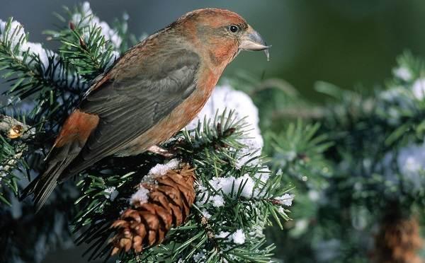 Зимующие-птицы-Названия-описания-и-особенности-зимующих-птиц-20