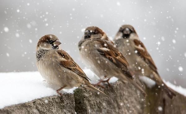 Зимующие-птицы-Названия-описания-и-особенности-зимующих-птиц-3