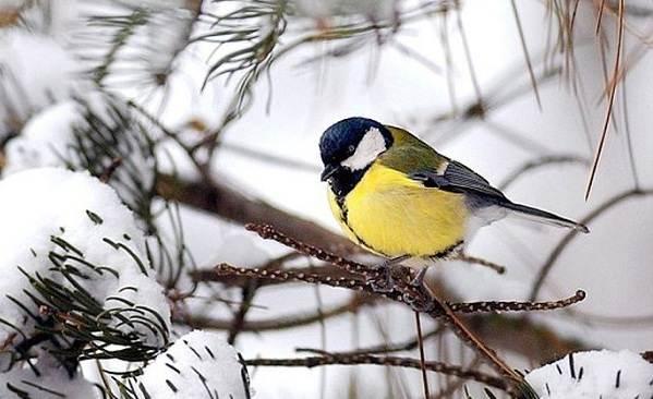 Зимующие-птицы-Названия-описания-и-особенности-зимующих-птиц-7