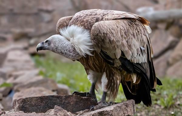 Белоголовый-сип-птица-Образ-жизни-и-среда-обитания-белоголового-сипа-1