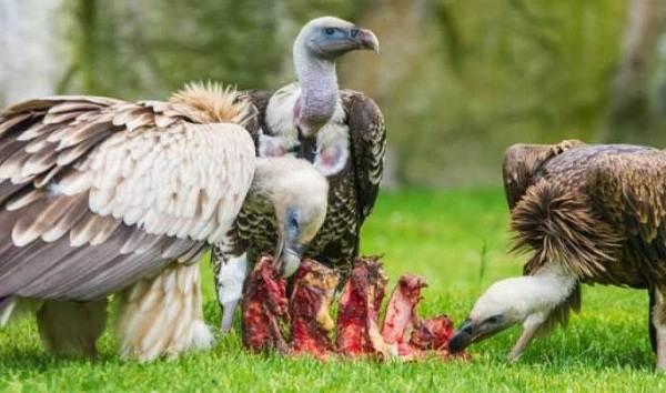 Белоголовый-сип-птица-Образ-жизни-и-среда-обитания-белоголового-сипа-10