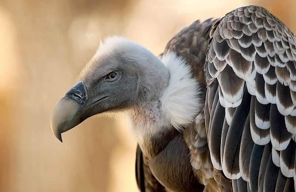 Белоголовый-сип-птица-Образ-жизни-и-среда-обитания-белоголового-сипа-3