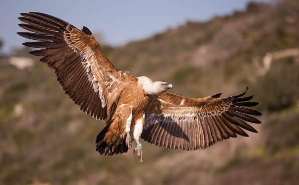 Белоголовый-сип-птица-Образ-жизни-и-среда-обитания-белоголового-сипа-4
