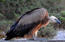 Белоголовый сип птица. Образ жизни и среда обитания белоголового сипа