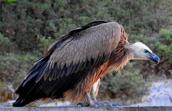 Белоголовый-сип-птица-Образ-жизни-и-среда-обитания-белоголового-сипа-5