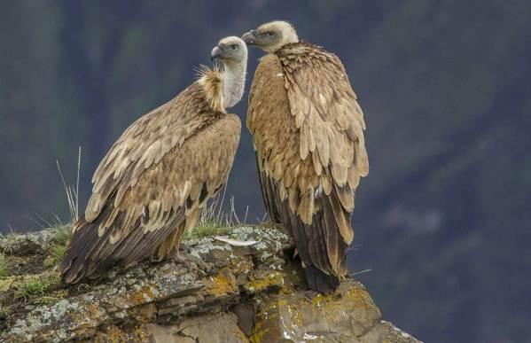 Белоголовый-сип-птица-Образ-жизни-и-среда-обитания-белоголового-сипа-6