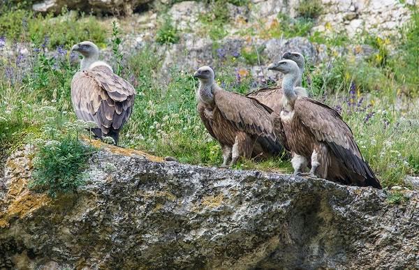 Белоголовый-сип-птица-Образ-жизни-и-среда-обитания-белоголового-сипа-7