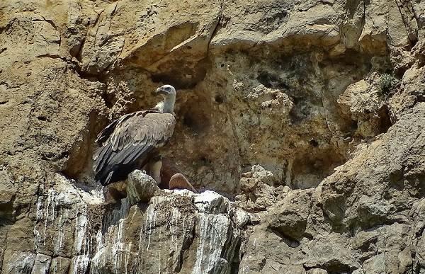 Белоголовый-сип-птица-Образ-жизни-и-среда-обитания-белоголового-сипа-8