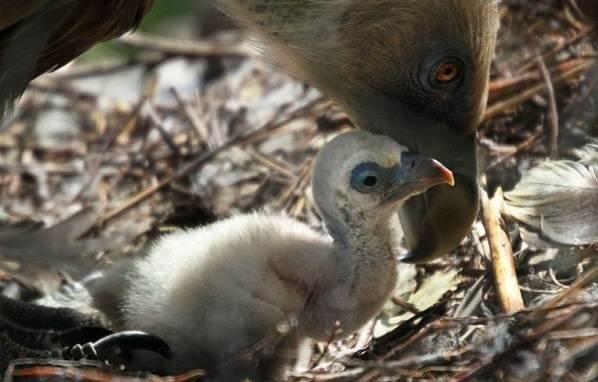 Белоголовый-сип-птица-Образ-жизни-и-среда-обитания-белоголового-сипа-9