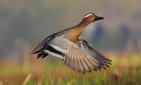 Чирок-свистунок-птица-Образ-жизни-и-среда-обитания-чирка-свистунка-10