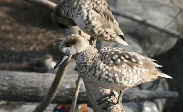 Чирок-свистунок-птица-Образ-жизни-и-среда-обитания-чирка-свистунка-11