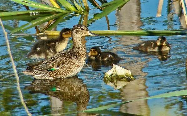 Чирок-свистунок-птица-Образ-жизни-и-среда-обитания-чирка-свистунка-13