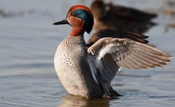 Чирок-свистунок-птица-Образ-жизни-и-среда-обитания-чирка-свистунка-4