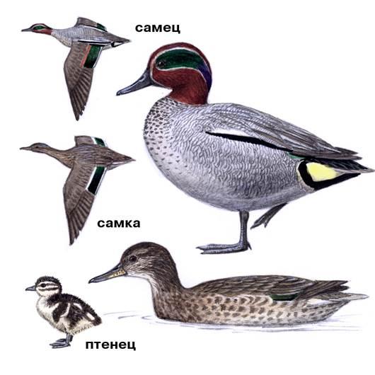 Чирок-свистунок-птица-Образ-жизни-и-среда-обитания-чирка-свистунка-9
