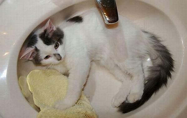 Как-мыть-кошку-Можно-ли-мыть-кошку-Чем-мыть-кошку-2