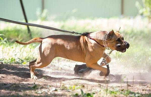 Канарский-дог-собака-Описание-особенности-уход-и-цена-породы-канарский-дог-10