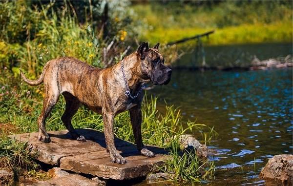 Канарский-дог-собака-Описание-особенности-уход-и-цена-породы-канарский-дог-13