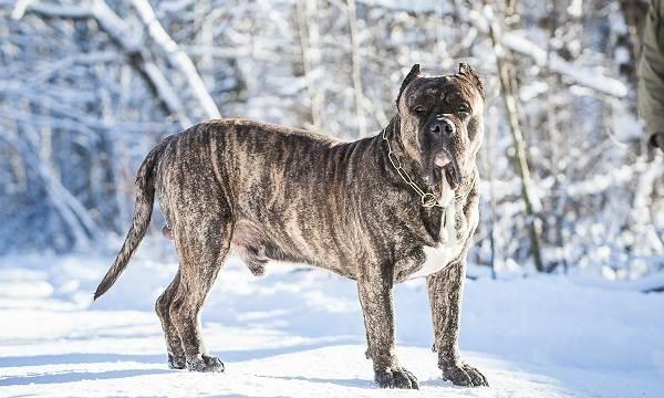 Канарский-дог-собака-Описание-особенности-уход-и-цена-породы-канарский-дог-5