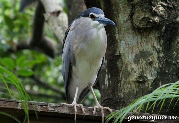 Кваква-птица-Образ-жизни-и-среда-обитания-кваквы-1