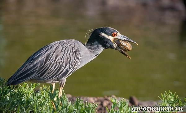 Кваква-птица-Образ-жизни-и-среда-обитания-кваквы-10