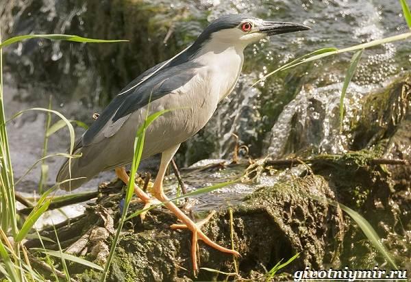 Кваква-птица-Образ-жизни-и-среда-обитания-кваквы-11