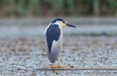 Кваква птица. Образ жизни и среда обитания кваквы