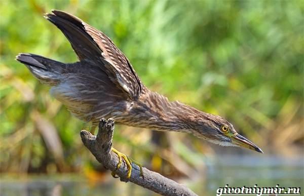 Кваква-птица-Образ-жизни-и-среда-обитания-кваквы-3