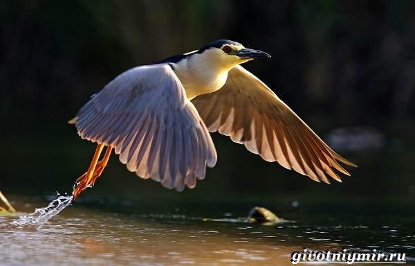 Кваква-птица-Образ-жизни-и-среда-обитания-кваквы-6