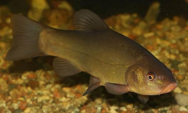 Линь-рыба-Описание-особенности-и-среда-обитания-рыбы-линь-1