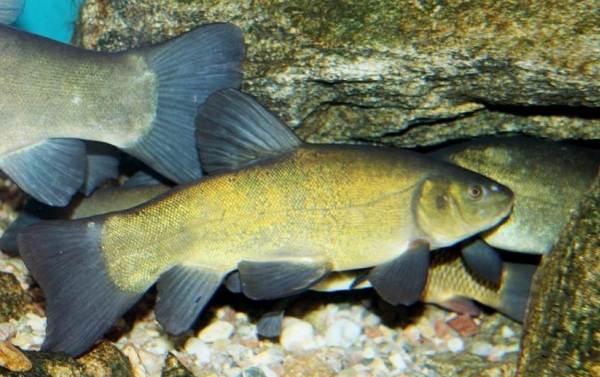 Линь-рыба-Описание-особенности-и-среда-обитания-рыбы-линь-2